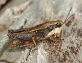 Black-sided Pygmy Grasshopper - Tettigidea lateralis and Mite - Acari