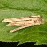 Bagworm Moth - Psychidae