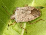 Stink Bug - Pentatomidae - Euschistus servus euschistoides