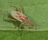 Scentless Plant Bug - Rhopalidae - Harmostes reflexulus