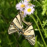 mating Canadian Tiger Swallowtail - Papilio canadensis