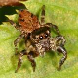 Evarcha hoyi (female)