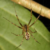 Sheetweb Spiders - Linyphiinae