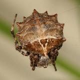 Starbellied Orb Weaver - Acanthepeira stellata