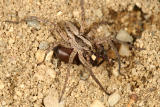 Gladicosa gulosa (eating another spider)