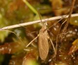 Erioptera sp.