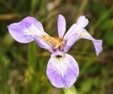 Arctic Skipper on Blueflag Iris - Iris versicolor