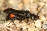 Dasymutilla vesta or D. nigripes (male)