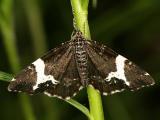 7294 -- White-banded Black Moth -- Rheumaptera subhastata