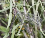 Antlion - Myrmeleontidae