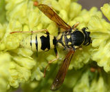 Pterocheilus sp.