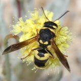 Calif. Wasps and Bees