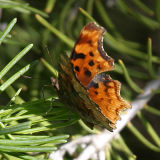 Hoary Comma - Polygonia gracilis