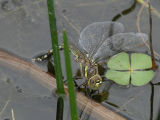 Dragonflies of California