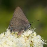 Gold-hunter's Hairstreak - Satyrium auretorum