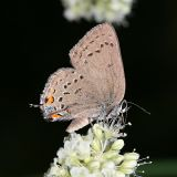 California Hairstreak - Satyrium californica