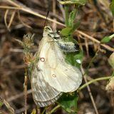 male Clodius Parnassian - Parnassius clodius