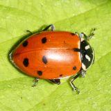 Convergent Lady Beetle - Hippodamia convergens
