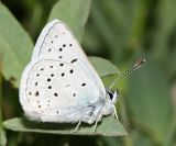 male Greenish Blue - Plebejus saepiolus