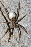 Pardosa sp. with egg sack