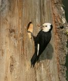 White-headed Woodpecker - Picoides albolarvatus (female)