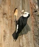 White-headed Woodpecker - Picoides albolarvatus (female)