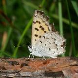 Mariposa Copper - Lycaena mariposa