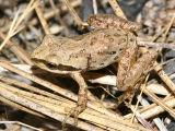 Pacific Chorus Frog - Pseudacris regilla