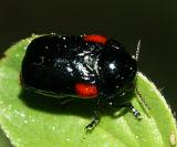 Saxinis deserticola