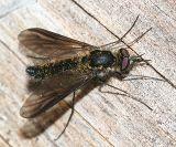 Thevenemyia sp.