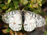 female Clodius Parnassian - Parnassius clodius