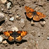 Hoffman's Checkerspot - Chlosyne hoffmani and Northern Checkerspot - Chlosyne palla
