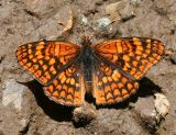 Northern Checkerspot - Chlosyne palla
