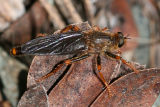 Stenopogon rufibarbis