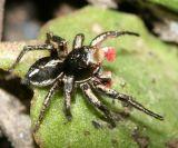 Habronattus americanus (male)