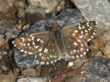 Two-banded Checkered Skipper - Pyrgus ruralis