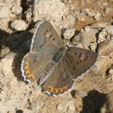 female Edith's Copper - Lycaena editha
