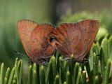 mating Brown Elfins - Callophrys augustinus