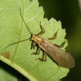 Soliperla sp. - S. sierra (the Sierra Roachfly) or S. thyra (the California Roachfly)