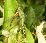 Eastern Pondhawk - Erythemis simplicollis (female eating a Meadowhawk)