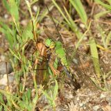 Eastern Pondhawk - Erythemis simplicollis (female eating a crane fly)