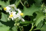 Common Nightshade - Solanum carolinense