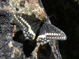 Indra Swallowtail - Papilio indra