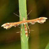 Plume Moths - Pterophoridae - 6089-6234