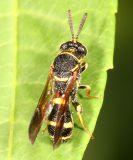 Leucospis affinis (male)
