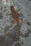 Western Fence Lizard - Sceloporus occidentalis