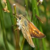 female Sonoran Skipper - Polites sonora