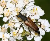 Anastrangalia sanquinea