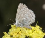Sagebrush Sooty Hairstreak - Satyrium semiluna