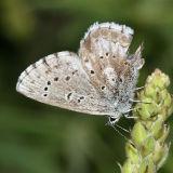 Arrowhead Blue - Glaucophyche piasus